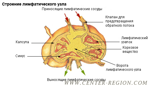 http://www.center-region.com/upload/iblock/708/illu_lymph_node_structure_ru.png
